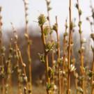 Kriech-Weide